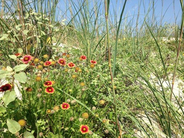 Gallardia & Primrose in Dunes