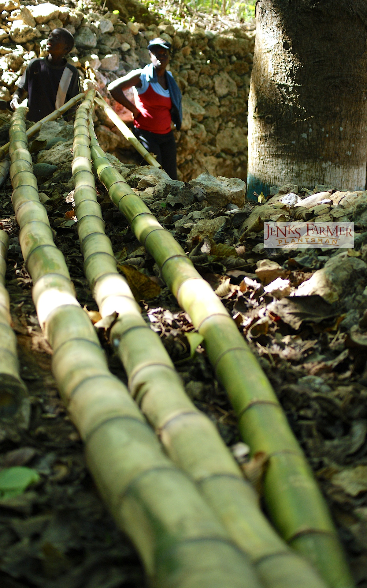 How To Propagate Bamboo From Cuttings Jenks Farmer