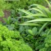 Curly Parsley in the fall