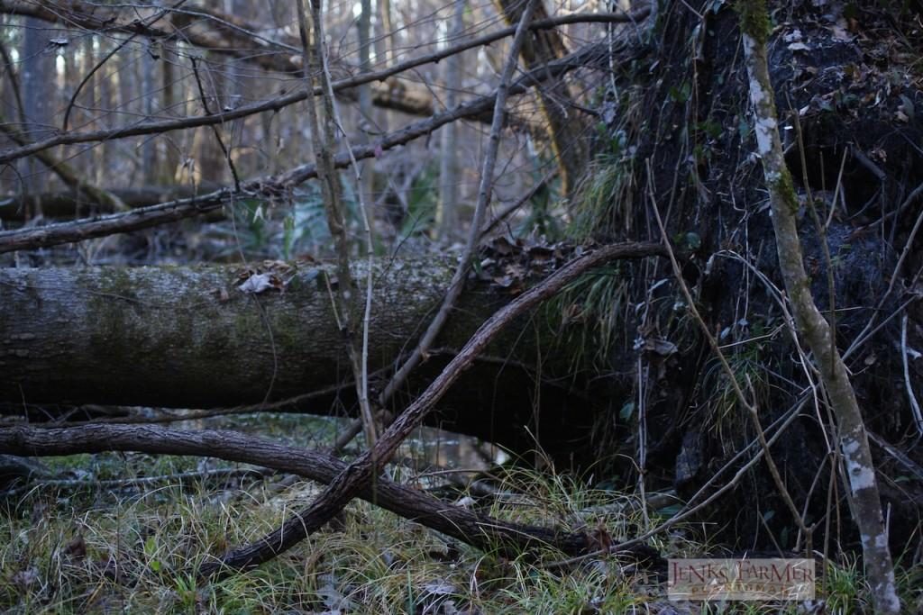 Pepper vine on upturned tree