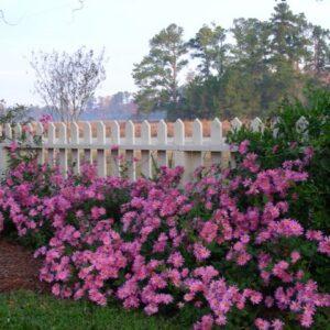 Chrysanthemum 'Miss Gloria's Thanksgiving Day'