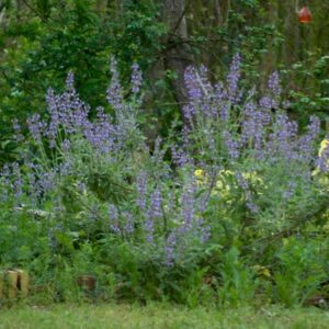 Salvia 'Jenks Farmer'