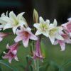 Crinum bulbispermum 'Aurora Glorialis'
