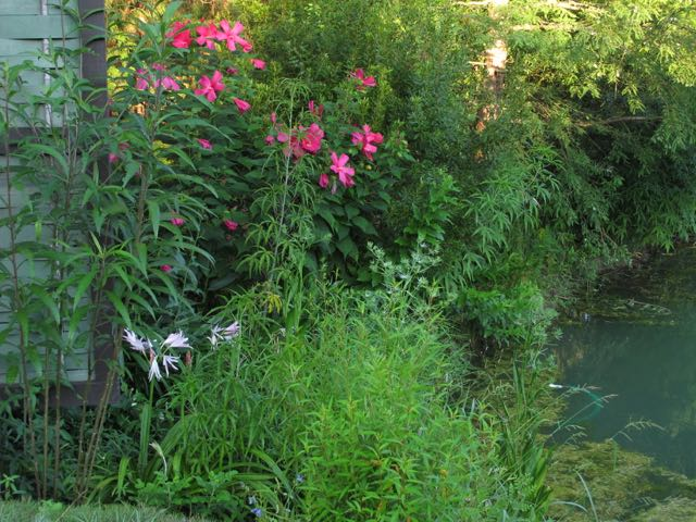 Hibiscus 'Raspberry Rose' and Crinum 'Mo'Pon'. Picture taken one summer after I did the planting.
