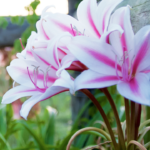 Milk-and-Wine Lily (Crinum herbertii)