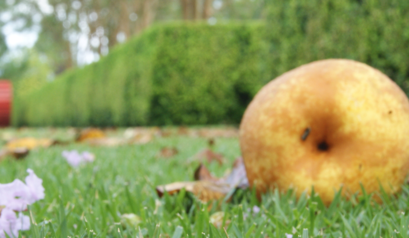 One caveat to foodscaping is that fruits, like this old fashioned sand-pear, can fall onto lawns, cars or friends.